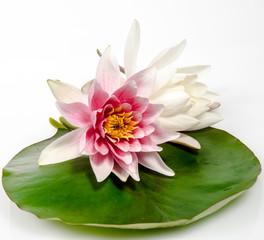 Rosa und weiße Seerose auf Seerosenblatt