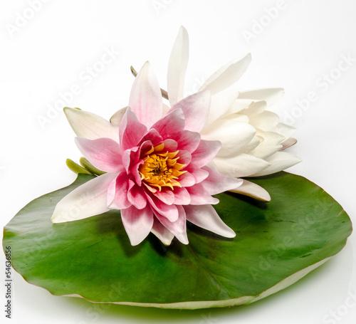 Fotobehang Water planten Rosa und weiße Seerose auf Seerosenblatt