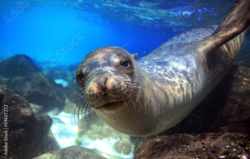 Sea lion underwater looking at camera - 54637272