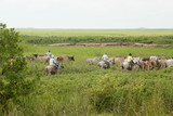 Cowboys pushing cattle, Los Llanos (Venezuela)