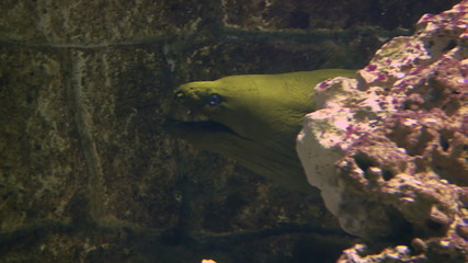 Close up of green moray