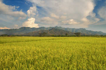 Beautiful rice field in Indonesia