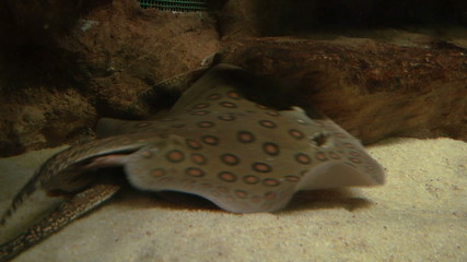 Ocellate River Stingray floating at the bottom of the sand