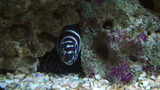A zebra moray on coral reef