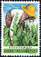 Farmer tending tobacco plants (Greece 1966)