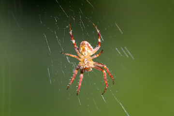 spider on the web. macro