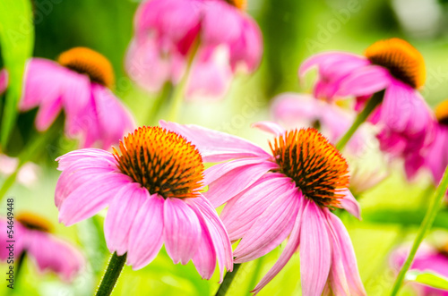 sonnenhut echinacea purpurea stockfotos und. Black Bedroom Furniture Sets. Home Design Ideas