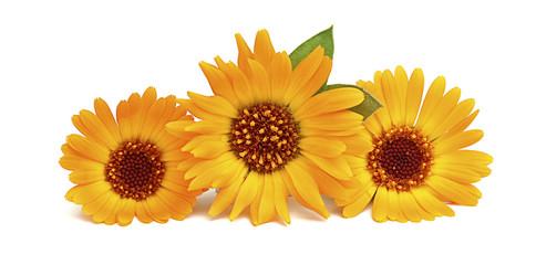 Three yellow-orange flower calendula