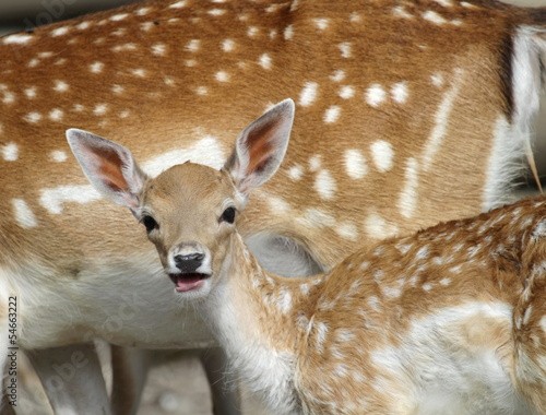 Chital deer mother and child