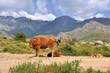 vache et ses veaux en montagne