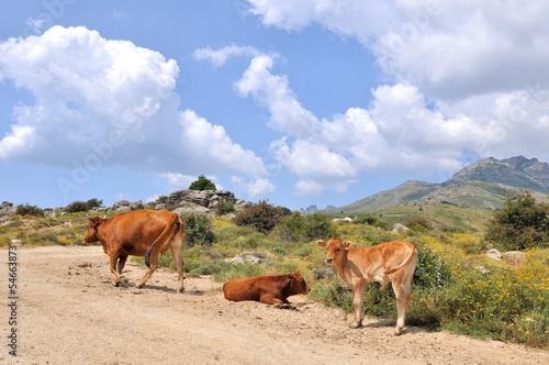 vaches et ses veaux en montagne