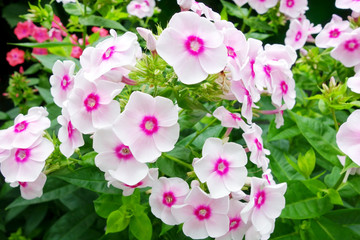 White with pink phlox