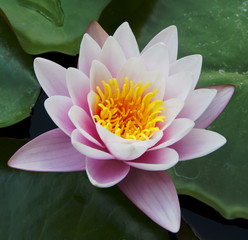 water lily on the water's surface