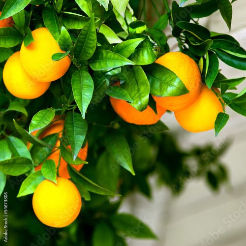 Bunch of ripe oranges hanging on a tree