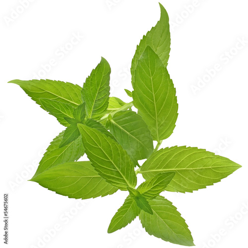 Sprig of mint close up isolated