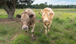 Curiously looking brown cows