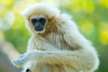 White gibbon ape