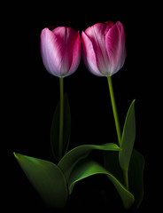 tulips on black