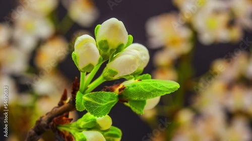 Wild plum flower blossoming