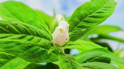 Medlar flower blooming