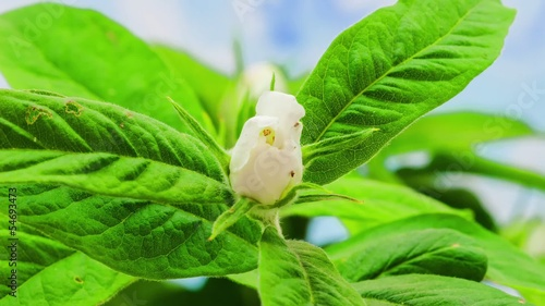 Medlar flower blooming