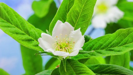Medlar flower blossoming