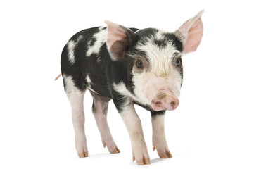 Cute piglet isolated on white. Soft shadow under image.