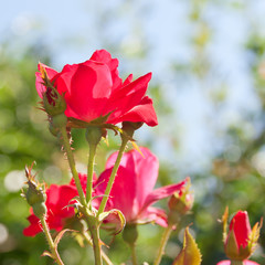 Beautiful red rose flower in a garden. selective focus