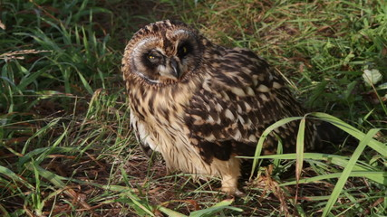 Grown  Short-eared   owls chick sitting in the grass