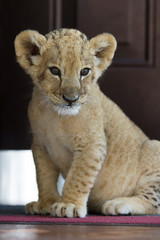 Portrait of cute little lion cub
