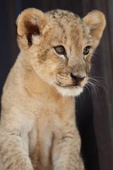 Portrait of little lion cub