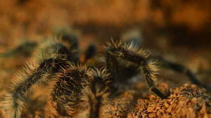 desert tarantula walking  in terarium