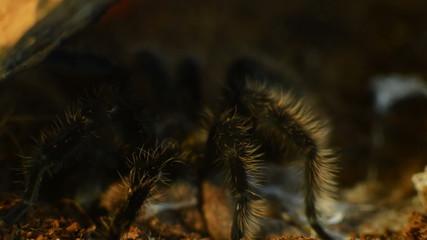 tarantula hiding under log
