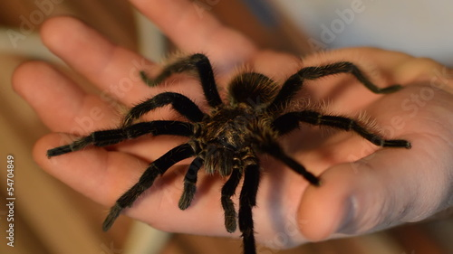 tarantula on human hand