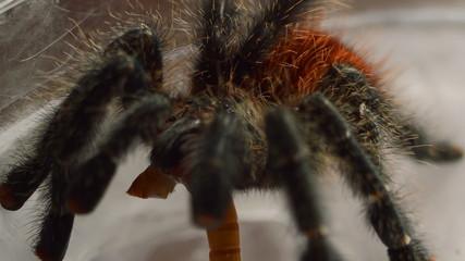 red tarantula close up in spider web