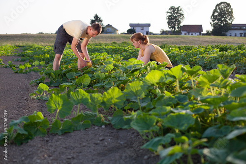 Farmers workng on the field picking hokaido pumpkins