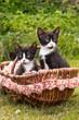 Niedliche Katzenbabys in einem Korb im Grünen