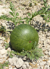 Ripening watermelon