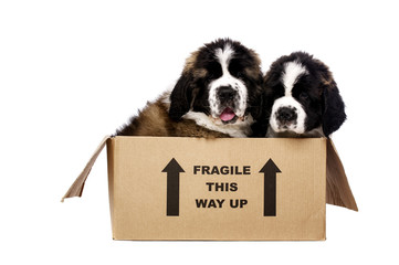 St Bernard puppies in a cardboard box