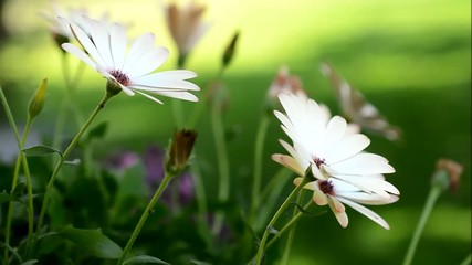 Closeup of white Osteospermum blowing in the wind.