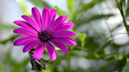 Closeup footagre with purple Osteospermum blowing in the wind.
