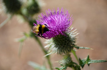 Bumble bee searching for nectar on a thistle