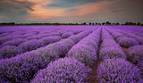 Fields of Lavender at sunset - 54713456