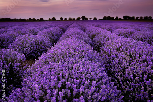 Fields of Lavender at sunset - 54713453