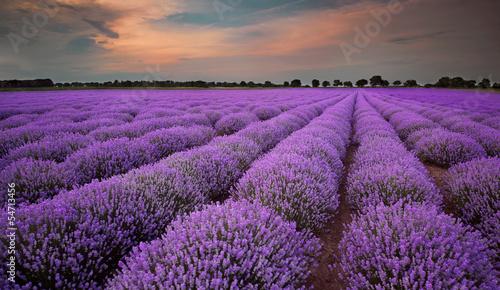 Obraz na Plexi Fields of Lavender at sunset