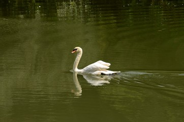 Swan glides through lake water