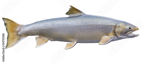 Dolly Varden trout isolated on a white background
