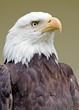 Weißkopfseeadler 6