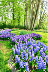 Blooming hyacinths at an outdoor park