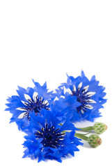 Small bouquet of wild vivid big blue flowers of cornflower